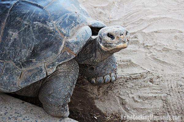 San Diego Zoo - Galapagos Tortoise