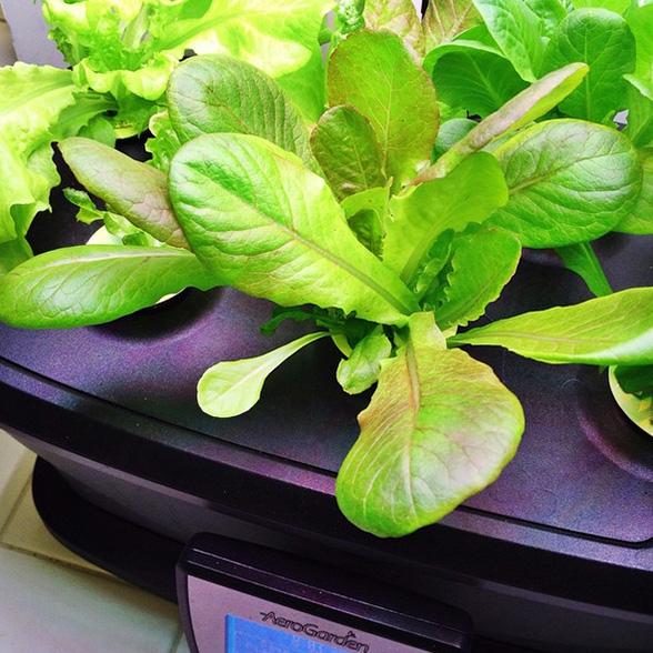 AeroGarden LED Ultra - Growing Heirloom Lettuces