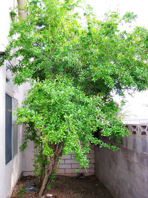 Our Pomegranate Tree/Shrub