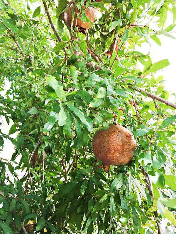 Our Pomegranate Tree 2015